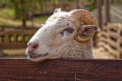 Ram detrás de la cerca del corral imagen de archivo libre de regalías