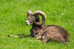 Ram di Heidschnucke che si rilassa nell'erba Immagini Stock