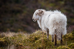 Ram di Lingua gallese Fotografia Stock
