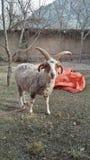Ram di quattro Horn fotografia stock