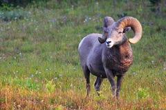 Ram di Rocky Mountain Big Horn Sheep Fotografie Stock