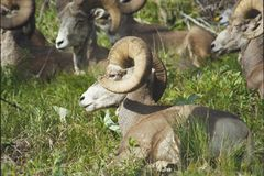 Ram di Rocky Mountain Big Horn Sheep fotografie stock libere da diritti