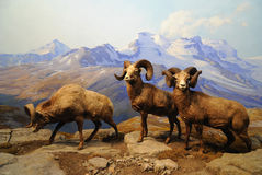 Ram in a Diorama Stock Photography