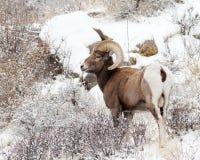Ram do Bighorn fotos de stock