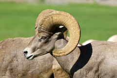 Ram do Bighorn do deserto Imagem de Stock
