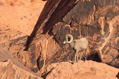 Ram do Bighorn do deserto na rocha vermelha Imagens de Stock Royalty Free