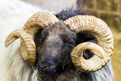 Ram do blackface de Mayo Imagens de Stock Royalty Free