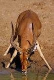 Ram do Nyala Foto de Stock
