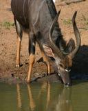 Ram do Nyala Imagens de Stock Royalty Free