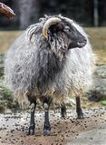 Ram domestica 9 Immagine Stock