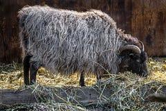 Ram domestica che mangia fieno fotografia stock