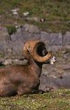 Ram dos carneiros de Bighorn Fotografia de Stock