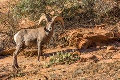 Ram dos carneiros de Bighorn do deserto imagem de stock royalty free