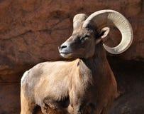 Ram dos carneiros de Bighorn em Rocky Mountains Fotos de Stock Royalty Free