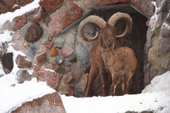 Ram dos carneiros de Bighorn no jardim zoológico Fotografia de Stock