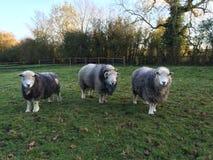 Ram e ovelhas de Herdwick Imagem de Stock