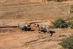Ram e ovelhas do Bighorn do deserto Imagem de Stock Royalty Free