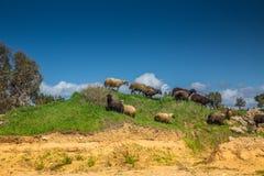 Ram e pecore su una collina verde fotografia stock