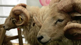 Ram Eating. Nature video of two rams in a pen, one of them eating at the Cowpie Country show stock video