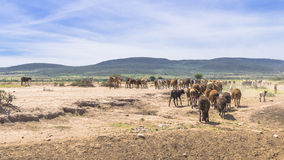 RAM en Afrique image libre de droits