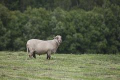 Ram en el pasto foto de archivo