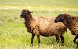 Ram en el pasto en la primavera foto de archivo libre de regalías