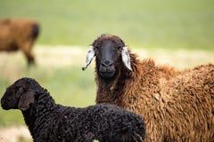 Ram en el pasto en la primavera imagen de archivo