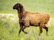 Ram en el pasto en la primavera foto de archivo