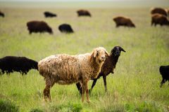 Ram en el pasto en la primavera imagen de archivo libre de regalías