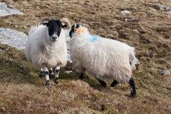 Ram en las montañas en la isla de Lewis y de Harris Escocia del noroeste fotografía de archivo