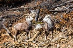 Ram en ooi de Schapen van de Steen of de Schapen van Dall op het Yukon-Grondgebied van Canada stock afbeeldingen