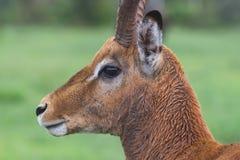 Ram encharcado pela chuva da impala Imagem de Stock