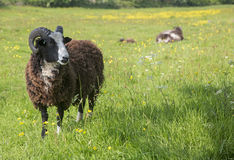 Ram in English field Royalty Free Stock Photography