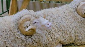 Ram engraçada com chifres filme