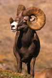 RAM enorme de las ovejas de Bighorn Fotografía de archivo libre de regalías