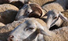 Ram entre ovejas Foto de archivo libre de regalías