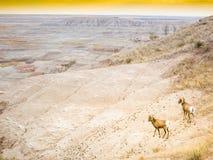 Ram et brebis de deux mouflons d'Amérique dans les bad-lands parc national, le Dakota du Sud, vue panoramique Image stock