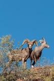 Ram et brebis de mouflons d'Amérique de désert Photo stock