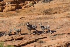Ram et brebis de mouflons d'Amérique de désert photographie stock