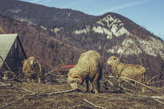 Ram and ewes. Eating the bark off of the tree branches as a sign of vitamin deficiency after the winter season Stock Photo