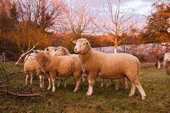 Ram with ewes in farm field. Ram or tup standing proudly beside a flock of ewes in a farm field in Autumn Royalty Free Stock Photography