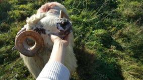 RAM-/fårman i vår Royaltyfri Foto