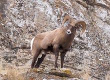 RAM för Bighornfår Arkivbilder