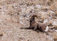 RAM för Bighornfår arkivfoton