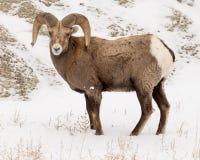 RAM för Bighornfår i vinter i Badlandsnationalpark royaltyfri bild