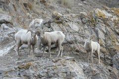 RAM för Bighornfår på klippan Royaltyfria Bilder