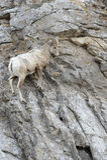 RAM för Bighornfår på klippan Royaltyfri Foto