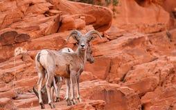 RAM för får för Big Horn för Mojaveöken arkivfoto