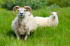 Ram family portrait Stock Photo