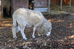 Ram in the farm, Italy Royalty Free Stock Photo